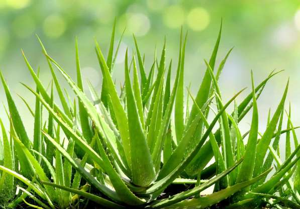 Bahas Tuntas Aloe Vera Extract, Asal- Usul Sampai Manfaat Untuk Kulit